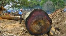 Vancouver company EcoTimber uses trees logged from Panama Canal to make furniture