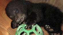 Five-week-old Little Makoon (Cree for little bear) plays with a ball at the Dubois home in St. Malo, Man., on March 28. The black bear cub has been released back into the wild despite concerns that it may not be able to survive on its own. (Rachel Walford/THE CANADIAN PRESS)