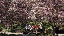 Montrealers saught a little shade from the 28C heat under cherry blossom trees on May 7. (Ryan Remiorz/The Canadian Press)
