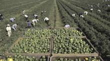 Workers picking green peppers. (Thinkstock/Thinkstock)