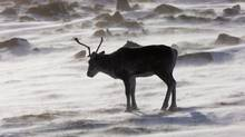 A wild caribou roams the tundra near The Meadowbank Gold Mine located in the Nunavut Territory of Canada on March 25, 2009. (NATHAN DENETTE/THE CANADIAN PRESS)