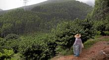 Plantations owned by Sino-Forest are seen in Tang Kong Village, near Gaoyao, Southern China on June 28, 2011. (Adam Dean/Adam Dean for The Globe and Mail)