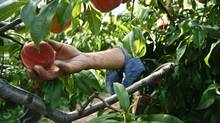 A migrant worker from Mexico picks peaches at an orchard in Beamsville, Ont. (Glenn Lowson/Glenn Lowson for The Globe and Mail)