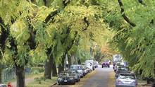 The City of Vancouver says it will cut down 30 stately elm trees in east Vancouver. The trees are on East Sixth Avenue in Vancouver, running from the 1700 block to 2100. (Campbell Sharman/The Globe and Mail/Campbell Sharman/The Globe and Mail)