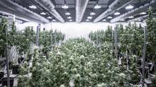 Medical marijuana is grown at a facility in Smiths Falls, Ont. (Jordan Sinclair/Tweed Inc.)