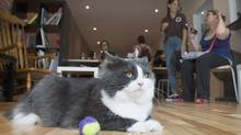 A cat relaxes at the newly opened Cat Cafe in Montreal, Sunday, August 31, 2014. (Graham Hughes/THE CANADIAN PRESS)