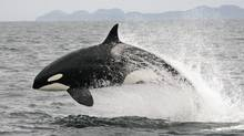 An orca breaches off the coast of B.C. in a file photo from July, 2005. (Jared Towers/AP)