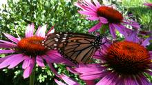 BF send us this iPhone image of a butterfly on the echinacea in his garden. (BF/BF)