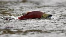 A sockeye salmon scurries through shallow water . (ANDY CLARK/Andy Clark/ Reuters)