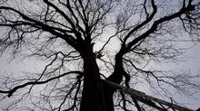 n this Nov. 19, 2007 file photo a tree expert, center, is silhouetted as he climbs Anne Frank's chestnut tree ahead of tests to determine its ability to remain upright during a storm, in Amsterdam, Netherlands. The monumental chestnut tree has fallen over Monday, Aug. 23, 2010, a spokeswoman for the Anne Frank Museum says. The 27-ton tree was encased in a steel tripod as a precaution of the danger it might fall. The tree's trunk snapped close to the ground and it toppled into neighboring gardens, damaging several sheds. No one was hurt. (PETER DEJONG/Peter Dejong/The Associated Press)