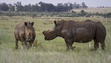 A recently de-horned rhino rejoins the herd owned by John Hume, who argues that he can help the species avoid extinction if he is allowed to sell the horns of those he raises an d use the proceeds to boost the population. (Cornell Tukiri)