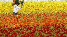 A worker gathers hand-picked giant tecolote ranunculus flowers at the Flower Fields in Carlsbad, California. (Mike Blake/Reuters)
