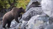 A grizzly bear sow and her spring cub make their way along an old rock slide in the Bella Coola Valley near Tweedsmuir Park Lodge, October 8, 2011. (JOHN LEHMANN/The Globe and Mail)