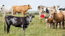 Cattle graze on dry land west of Medicine Hat, Alberta on Thursday, July 23, 2015. Dan Pahl, a local rancher operates a 30,000 acre cattle ranch with 750 beef cattle. (Chris Bolin/The Globe and Mail)