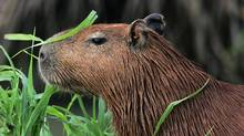 A capybara or Hydrochoerus Hydrochaeris, a semi-aquatic and the biggest rodent of the world, waits in Hato Pinero, 370 km (229 miles) west of Caracas, May 3, 2005. (JORGE SILVA/REUTERS)
