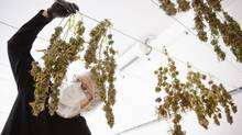 Director of Quality Assurance Thomas Shipley inspects drying marijuana plants before they are processed for shipping at Tweed Marijuana Inc in Smith's Falls, Ontario, April 22, 2014. (BLAIR GABLE/REUTERS)