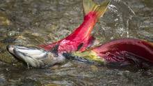 Sockeye salmon make their way up the Adams River at Roderick Haig-Brown Provincial Park north of Chase B.C. October 12, 2010. (John Lehmann/The Globe and Mail/John Lehmann/The Globe and Mail)