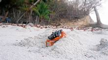 Halloween crabs signall the coming rainy season in Costa Rica. (Kate Jaimet)