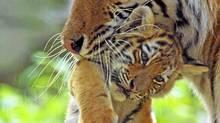Captive siberian tiger carrying a young cub. (Edwin Giesbers/Edwin Giesbers/WWF)