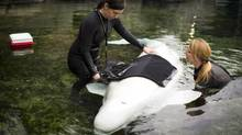 Vancouver Aquarium marine mammal trainers Kristi Heffron and Jenna Petersen work with beluga Aurora April 11, 2014. (John Lehmann/The Globe and Mail)