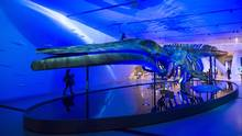 A blue whale skeleton is seen at the Royal Ontario Museum in Toronto on March 8, 2017. (Frank Gunn/THE CANADIAN PRESS)