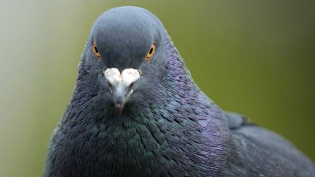 Pigeons are used to smuggle goods into prisons.