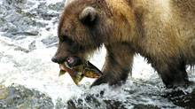 Grizzly bear with a freshly caught pink salmon. (Alexandra Morton)