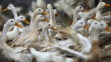 In this photo taken Tuesday, Feb. 14, 2012, ducks walk around an area where a suspected outbreak of the H5N1 bird flu virus was reported, in Nhat Tan commune, Kim Bang district, Ha Nam province, Vietnam. (Na Son Nguyen/Associated Press/Na Son Nguyen/Associated Press)