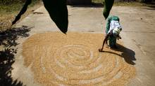 Yeabu Sesay, 45, spreads out rice to dry in the sun in the village of Romaro, Sierra Leone, on April 21, 2012. Mining and agricultural business in this area have given some new opportunities. (Peter Power/The Globe and Mail)