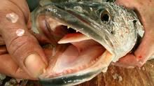 A snakehead fish. (Jonathan Drake/ Reuters/Jonathan Drake/ Reuters)