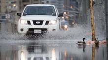 Ducks swim on Queens Quay as traffic makes its way through the flooded streets following a severe rainstorm in Toronto