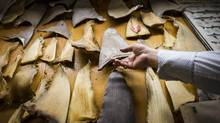 Patrick Ip, a Vancouver importer, shows some of the shark fins hanging in his office. (John Lehmann/The Globe and Mail)