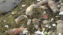 Dead pigs are strewn along the riverbanks of Songjiang district in Shanghai, China. (AP)