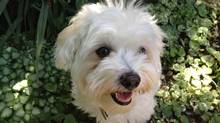 Ruby is a cherished member of the Blokland family. The family is planning to set up a trust for the Havanese dog in case she should outlive them. Unusual? Not any more. (Diane Jermyn)