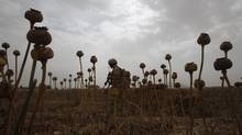 A Canadian soldier from the 22nd Royal Regiment walks through a poppy field in the Panjwai district of southern Afghanistan's Kandahar province in June, 2011. At least 70 Canadian veterans of the war in Afghanistan have taken their own lives after returning home. (BAZ RATNER/REUTERS)