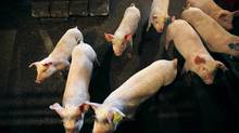 Piglets stand in their pen on a pork farm outside Calgary in this April 2, 2009 file photo. (TODD KOROL/Reuters)