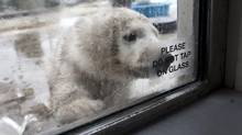 A February 2012 file photo shows a three-month-old polar bear at the Toronto Zoo. (Moe Doiron/The Globe and Mail)