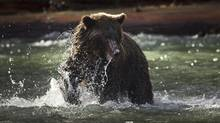 A grizzly bear is photographed in the Orford River, in British Columbia, in this 2011 file photo. (JOHN LEHMANN/THE GLOBE AND MAIL)