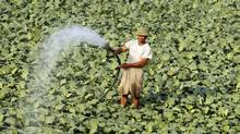 FIELD OF GREENS: A Vietnamese farmer waters his kohlrabi field in Thuong Tin district outside Hanoi. (KHAM/REUTERS)