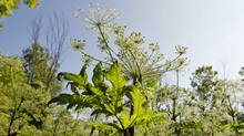 Giant hogweed can cause temporary and permanent blindness. (Darren Calabrese/The Canadian Press)