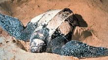 Leatherback Sea Turtle (Associated Press)