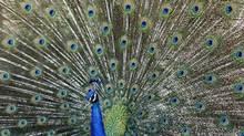 Peacock (REUTERS/Mario Anzuoni)