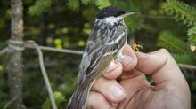 Blackpoll Warblers with Geolocators. (Kent McFarland/Vermont Center for EcoStudies.)