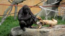 Barika, a female gorilla at Calgary Zoo, holds a knife accidently dropped in her enclosure by a keeper in this picture taken on June 16, 2009. A zookeeper was injured on March 8, 2013, while trying to corral some gorillas that managed to get into a kitchen at the Calgary Zoo. (Heike Scheffler/THE CANADIAN PRESS)