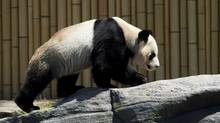 Da Mao checks out his new enclosure at the Toronto Zoo on Thursday, May 16, 2013. (Nathan Denette/THE CANADIAN PRESS)