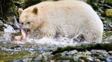 A spirit bear fishes for salmon in a stream on Princess Royal Island in Northen B.C. (JOHN LEHMANN/THE GLOBE AND MAIL)