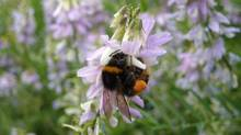 Slow-learning bumblebees are just as successful as smart ones and live longer, suggests a new study. (Nigel Raine/THE CANADIAN PRESS)