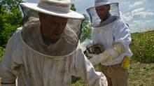 Master beekeeper Eugene Roman prepares to pull a frame from a hive as beekeeper and son William Roman follows closely behind with a smoker, used to clear the hive at Rosewood Estates' 21st Vineyard and Honey Processing Location in Jordan, Ontario, July 25, 2012. (Galit Rodan/The Globe and Mail)