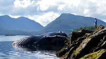A humpback whale was found dead close to the community of Klemtu. The whale was about 12 metres long, according to Charles, who posted images of the dead whale on his Facebook page. (Philip Charles)