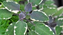 Warm and pungent, common garden sage is a classic culinary herb most associated with the flavours of the fall harvest and now is a great time to plant it.
